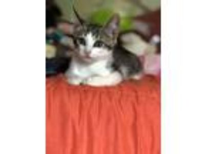 Adopt Dinghy a Domestic Short Hair