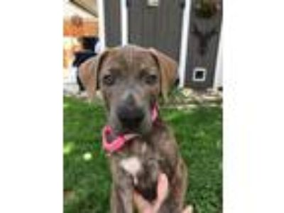Adopt Bobbie a Brindle - with White American Staffordshire Terrier dog in