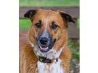 Adopt Miley 11-14-11 a Brown/Chocolate Australian Cattle Dog / Shepherd (Unknown