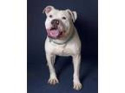 Adopt Artica a White American Staffordshire Terrier / Mixed dog in Santa Paula