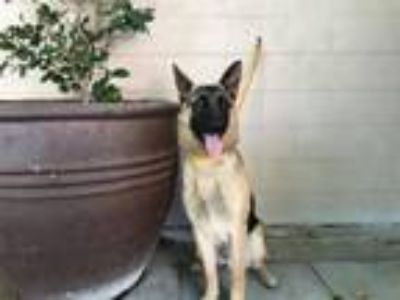 Adopt I1317333 a German Shepherd Dog