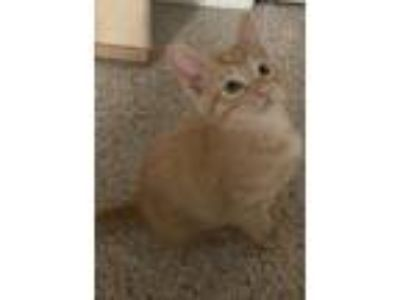 Adopt Butterscotch a Domestic Short Hair, Extra-Toes Cat / Hemingway Polydactyl