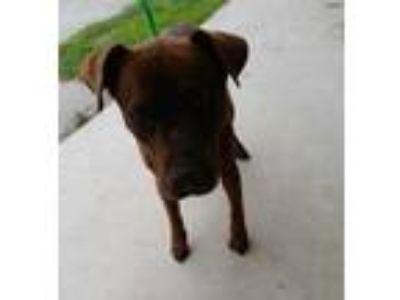 Adopt Dino(HW+) a Brown/Chocolate Labrador Retriever / Mixed dog in Brownwood