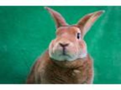 Adopt Taffy #2 a Tan Mini Rex / Mixed (short coat) rabbit in Baton Rouge