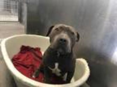 Adopt STRAY a Gray/Blue/Silver/Salt & Pepper American Pit Bull Terrier / Mixed
