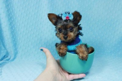 Teacup Yorkie puppies Available in Las Vegas/Henderson