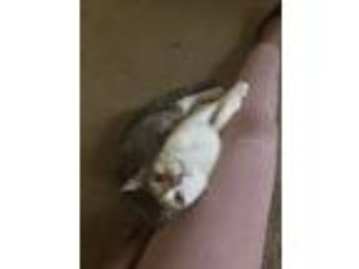 Adopt Little Bit a Calico or Dilute Calico American Shorthair / Mixed (short