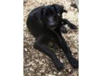 Adopt lab pups a Labrador Retriever, Border Collie