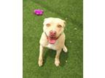 Adopt Princess-RV a Tan/Yellow/Fawn American Pit Bull Terrier / Mixed dog in