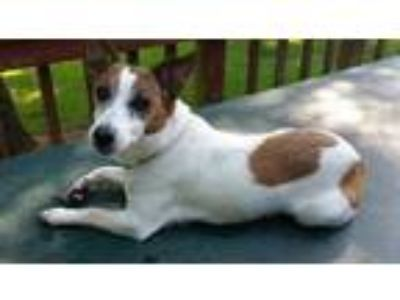 Adopt Cricket a Jack Russell Terrier