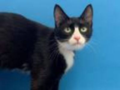 Adopt Leona a Domestic Short Hair