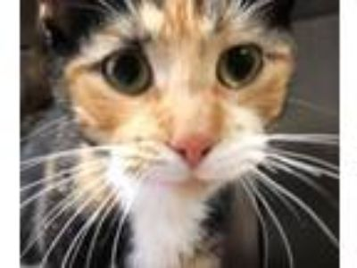 Adopt Tessy a Domestic Short Hair