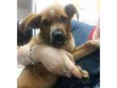 Adopt Billie a Australian Cattle Dog / Blue Heeler