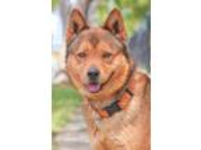 Adopt TED a German Shepherd Dog, Siberian Husky