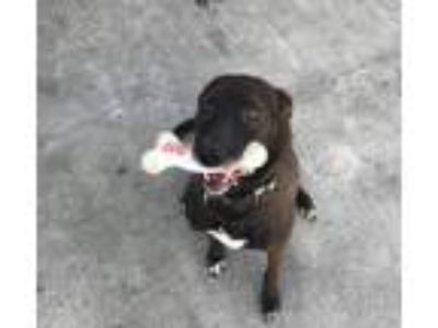 Adopt Duke a Labrador Retriever / Border Collie / Mixed dog in Dana Point