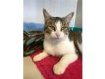 Adopt Mikka a Domestic Short Hair