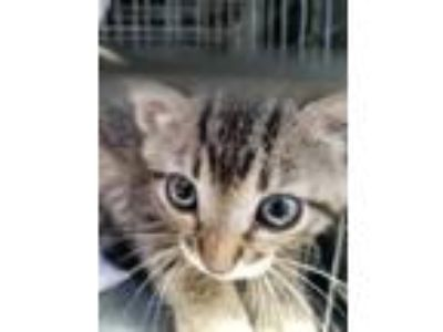 Adopt Catlina a Gray or Blue Domestic Shorthair / Domestic Shorthair / Mixed cat