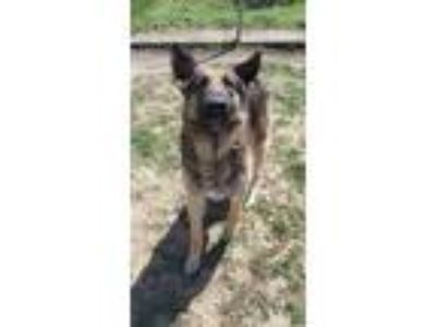 Adopt A517826 a German Shepherd Dog