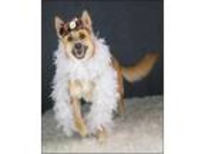 Adopt Amira a Tan/Yellow/Fawn Shepherd (Unknown Type) / Mixed dog in New Smyrna