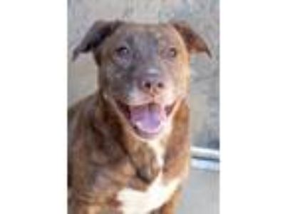 Adopt Rocky a Brown/Chocolate Golden Retriever / American Pit Bull Terrier /
