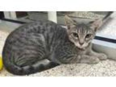 Adopt QUEEN a Gray or Blue Domestic Shorthair / Domestic Shorthair / Mixed cat