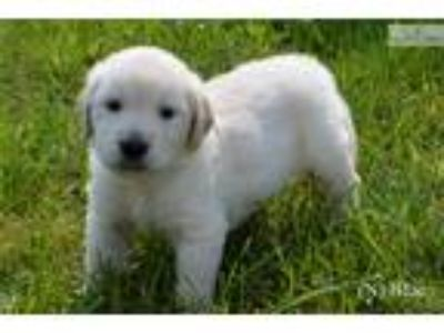 Male AKC English Cream Golden Retriever - Blue