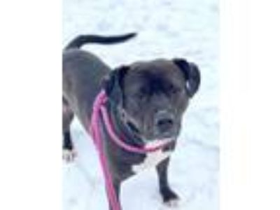 Adopt Onyx a American Staffordshire Terrier