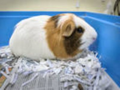 Adopt FLUFFY a Black Guinea Pig / Mixed small animal in Vero Beach