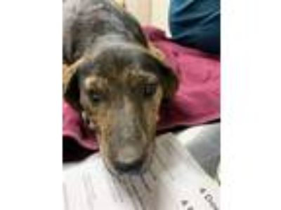 Adopt Kate a Plott Hound