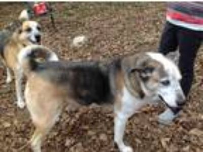 Adopt Jax and Sean a Gray/Silver/Salt & Pepper - with White Siberian Husky /