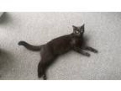 Adopt Zorro a All Black Domestic Shorthair / Mixed cat in Nunnelly