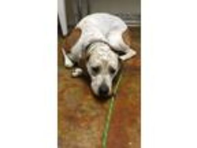 Adopt Jazz a White Hound (Unknown Type) / Mixed dog in Shelbyville