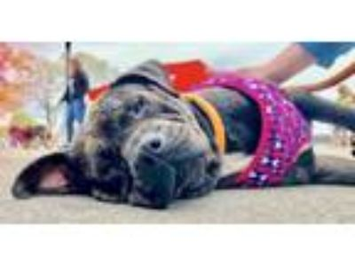 Adopt Athena *LIVED WITH CATS AND DOGS* a Shar-Pei, Pit Bull Terrier