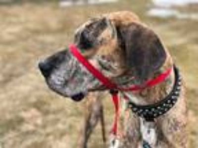 Adopt Sage a Brindle Great Dane / Mixed dog in Inver Grove Heights