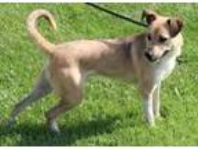 Adopt Prince a German Shepherd Dog / Australian Cattle Dog / Mixed dog in Homer