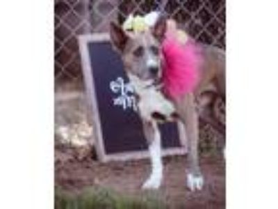 Adopt Blossom a American Staffordshire Terrier, Cattle Dog