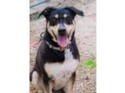 Adopt Roxy a Rottweiler / Mixed dog in Boone, IA (24980948)