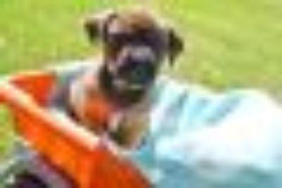 Deeks German Shepherd Dog - Mastiff Dog