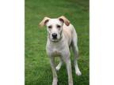 Adopt Oliver a Yellow Labrador Retriever