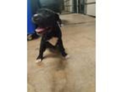Adopt CHIP a Pit Bull Terrier