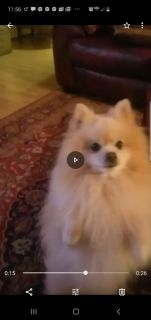 Pomeranian male with papers will take pick of the litter or stud fee.