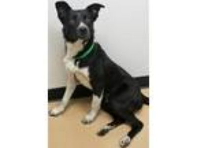 Adopt Maxwell a Border Collie, Australian Cattle Dog / Blue Heeler