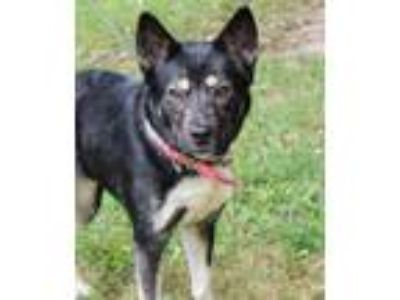 Adopt Julia a Black - with Tan, Yellow or Fawn Husky / Shiba Inu / Mixed dog in