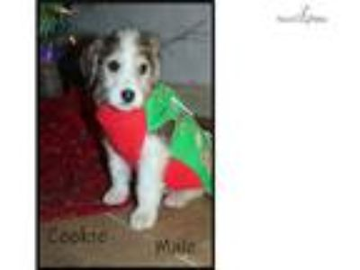 Christmas Labradoodle looking for homes.