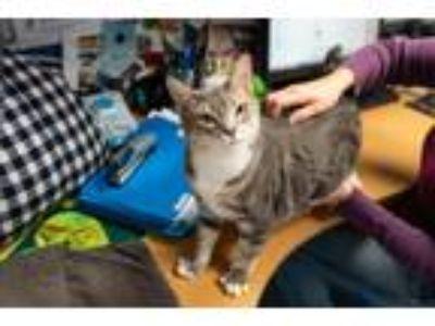Adopt Priscilla a Gray, Blue or Silver Tabby Domestic Shorthair (short coat) cat