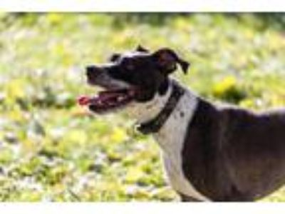 Adopt Rose a American Staffordshire Terrier, Boxer