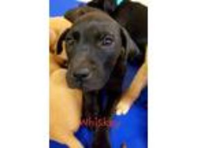 Adopt Whiskey a Black Labrador Retriever / Mixed dog in Dahlonega, GA (25353991)