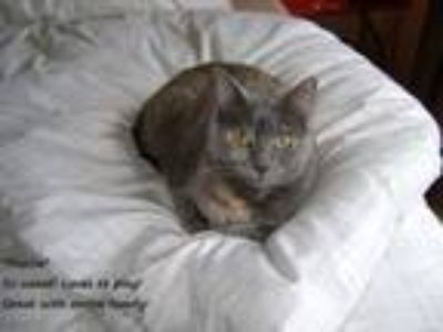 Adopt Mattie a Dilute Tortoiseshell, Domestic Short Hair
