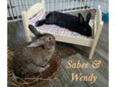 Adopt Sabee and Wendy a Netherland Dwarf, Lionhead