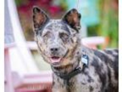Adopt Astro a Cattle Dog